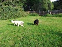 promenade de deux chiens